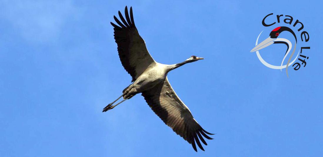 Crane Life